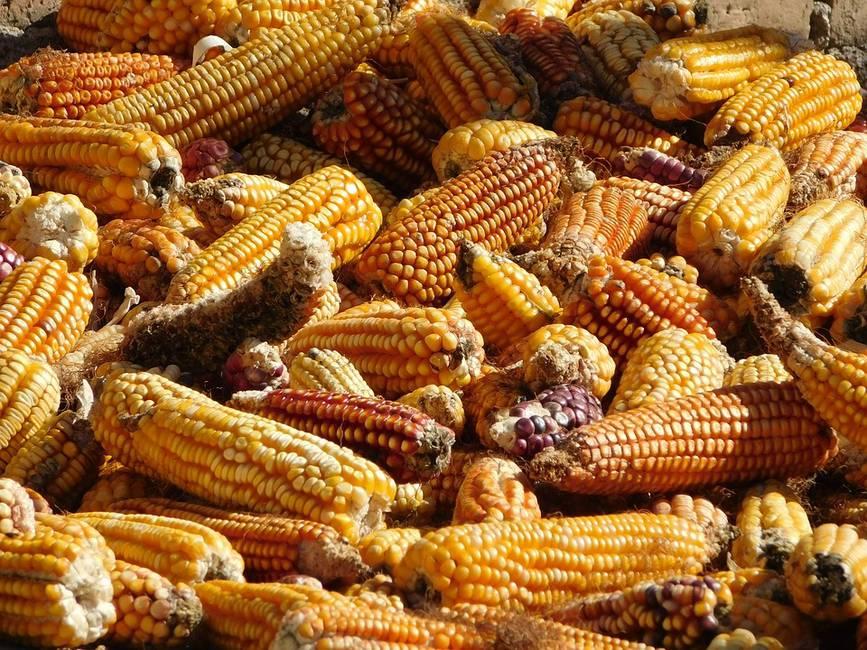 A comercio revuelto, ¿ganancia del maíz?
